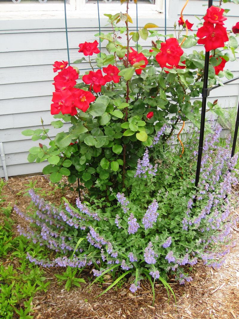 Red roses and Nepeta Complementary colors