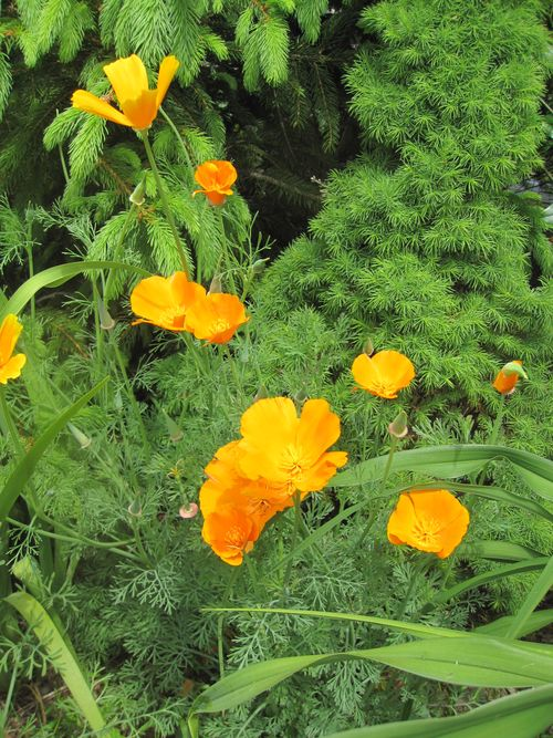 California poppies in early bloom