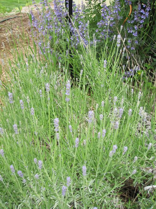 Early blooming lavender