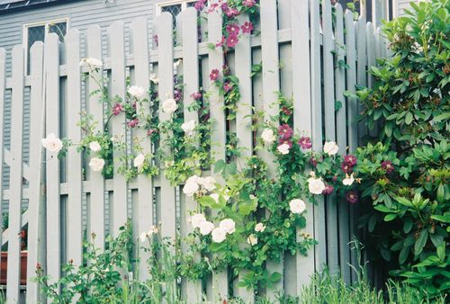 Clematis and Roses bloom together