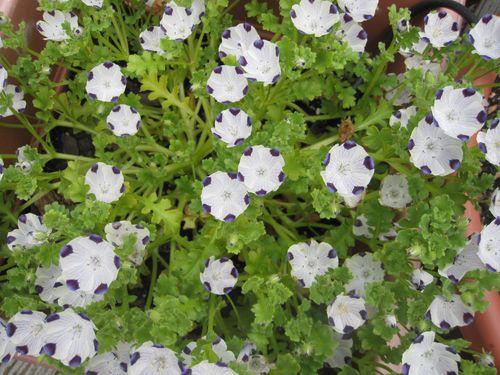 Five Spot plant