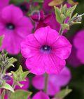 Petunia_integrifolia2