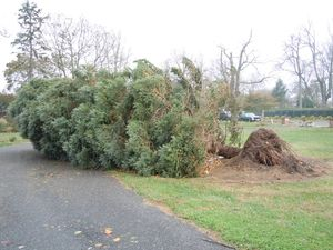 Tree toppled by Sandy
