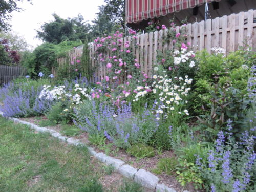 Background to foreground: akebia vine, nepeta, bearded iris, sky pencil boxwood, New Dawn climbing rose, white rugosa rose, creeping thyme, shasta daisies, Russian sage, various heirloom roses, Husker's red penstemon