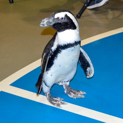 Penguin_34
