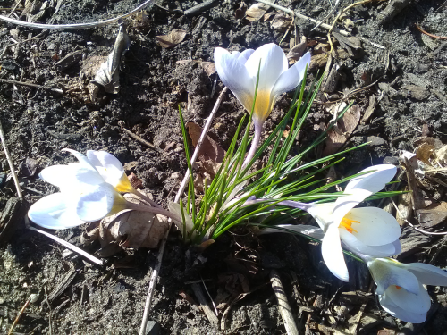 First Bulb of Spring 2019