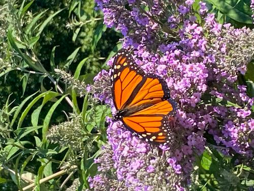 Butterfly Bush Blog